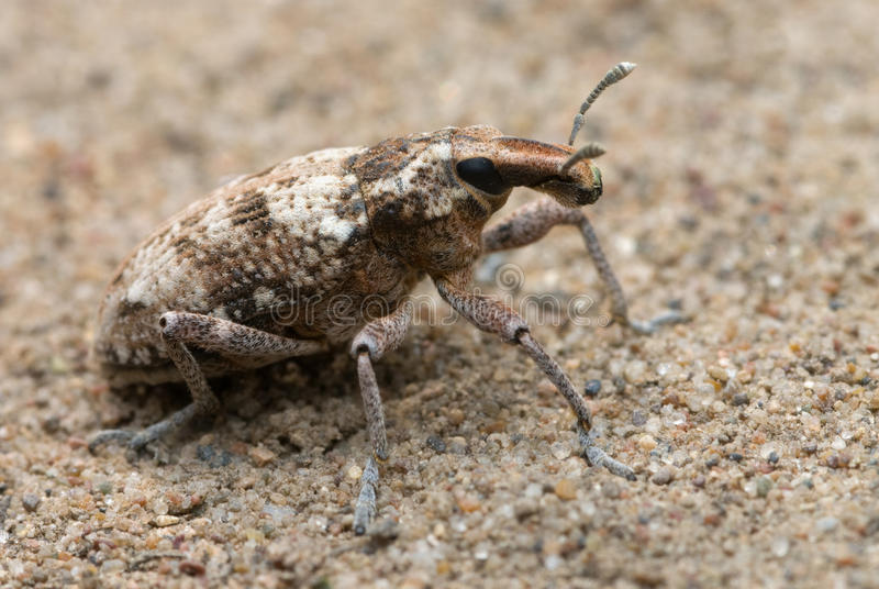 Weevil stock image