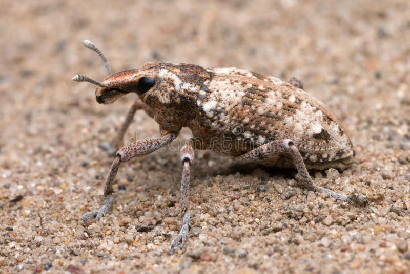 Weevil stock photo