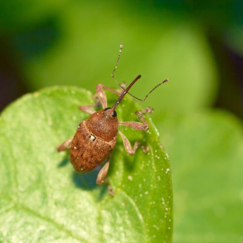 Weevil do besouro que senta-se em uma folha. foto de stock royalty free