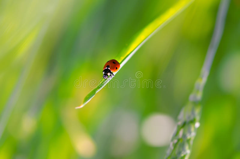 Weevil On Grass Stock Photos