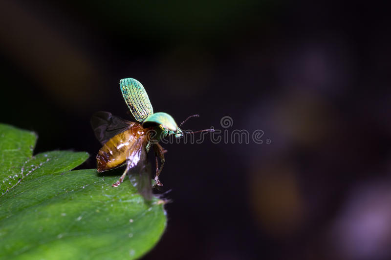 Weevil take-off. Polydrusus sericeus, a broad-nosed weevil, taking off from a leaf royalty free stock photography