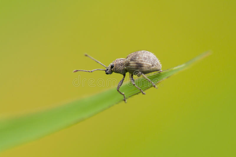 Weevil Royalty Free Stock Photo