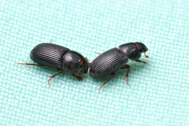 Weevils pretos imagem de stock