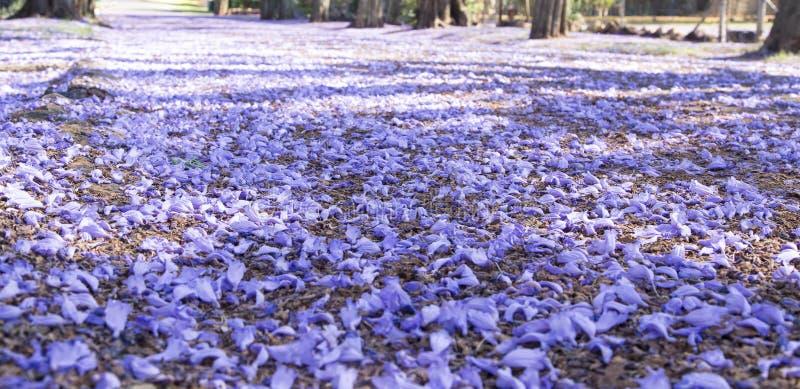Weg in de voorsteden met jacarandabomen en kleine bloemen die ca maken stock afbeelding