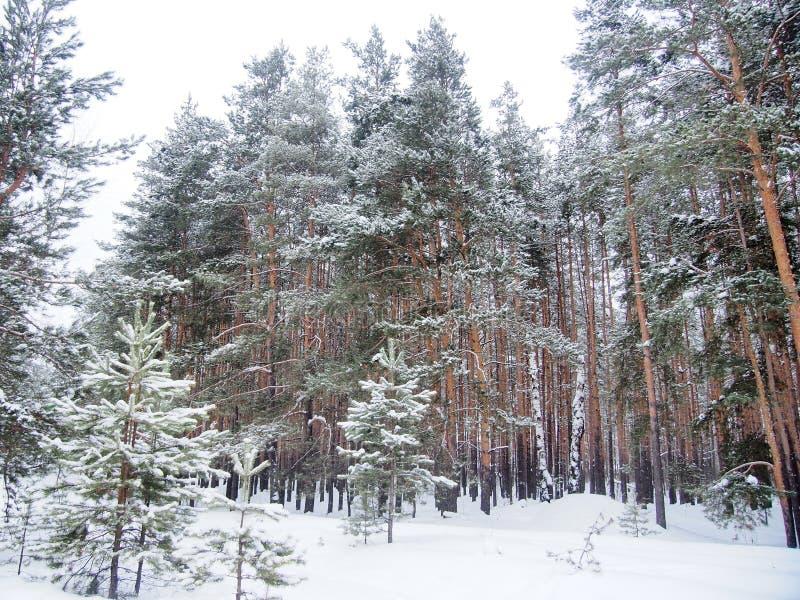Weg in de winter bosdieKerstbomen en pijnbomen met sneeuw worden behandeld stock foto's