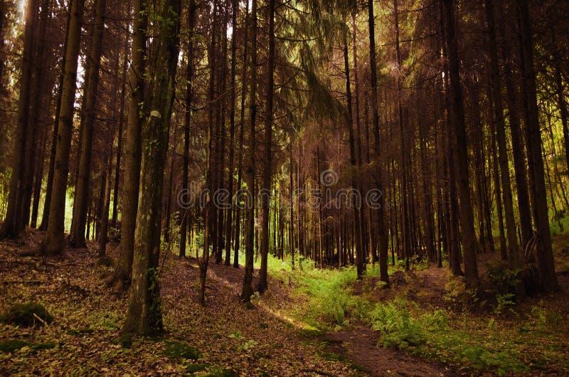 Weg des grünen Grases in einem dichten Koniferenwald lizenzfreie stockfotos