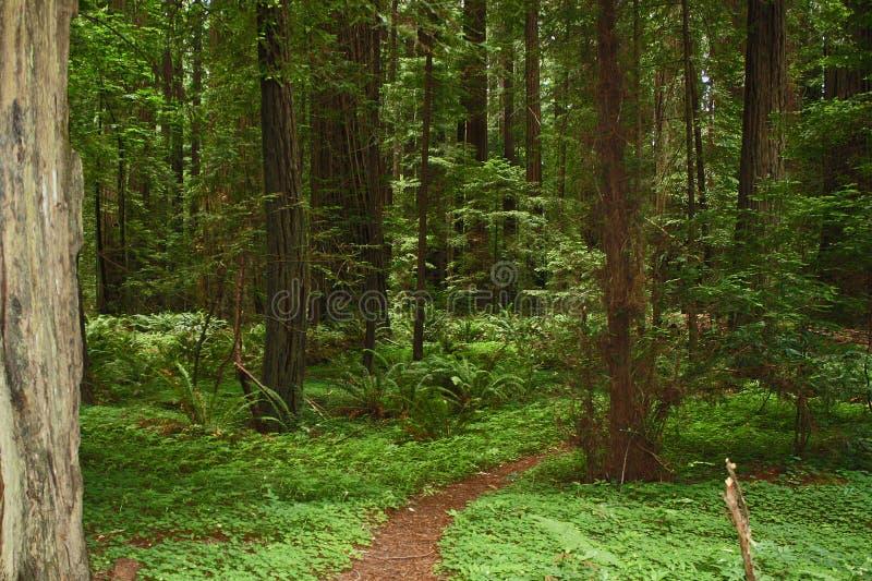 Weg door een Californische sequoiabos royalty-vrije stock afbeeldingen