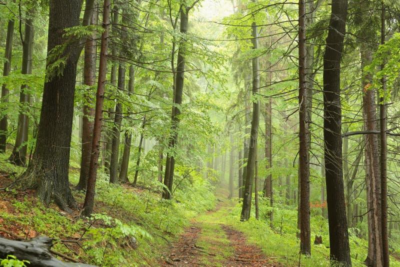Weg door nevelig de lente vergankelijk bos stock foto's