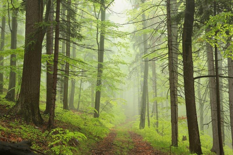 Weg door nevelig de lente vergankelijk bos royalty-vrije stock foto's