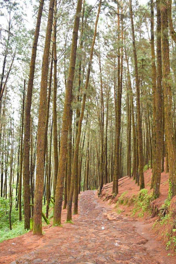 Weg door Pijnboom Forest Valley in Vagamon, Kerala, India royalty-vrije stock foto's