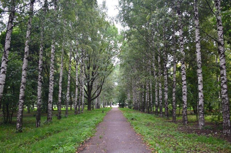 Weg durch die Birkengasse im Park stockfoto