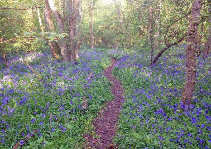 Weg durch Glockenblumeholz in England stockbild