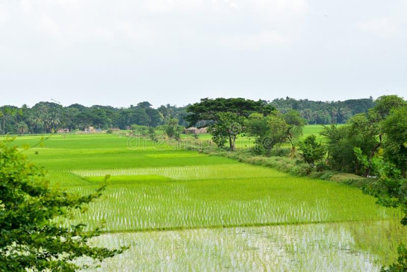 Weg durch paddyfields stockfoto