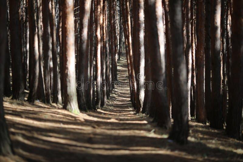 Weg in einem Kiefer Park lizenzfreie stockfotografie