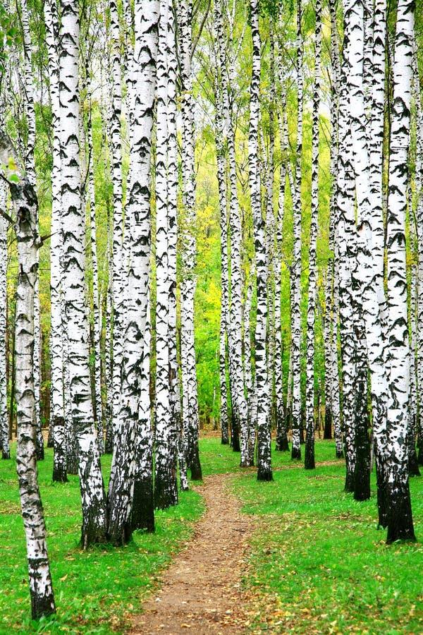 Weg in het bosje van de de herfstberk royalty-vrije stock foto