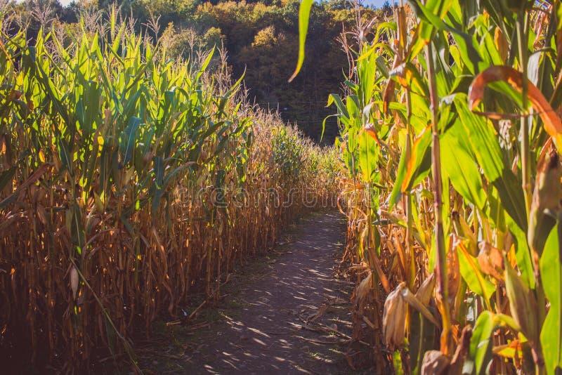 Weg in het midden van het suikerrietgebied op een zonnige dag stock afbeelding