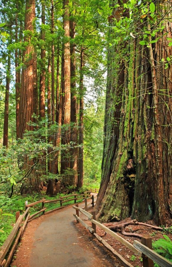 Weg im Wald Muir Woods National Monument lizenzfreies stockfoto
