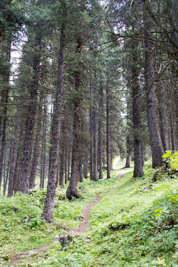 Weg im Wald von Tannen lizenzfreie stockfotos