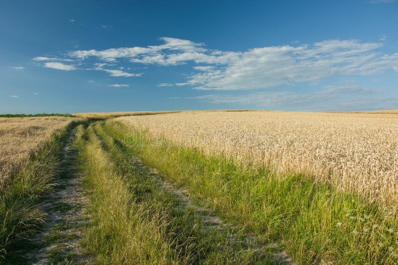 Weg met gras in een tarwegebied, een horizon en een blauwe hemel wordt overwoekerd die royalty-vrije stock afbeelding