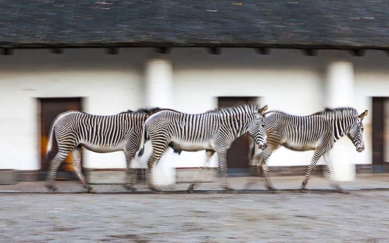 Weg mit drei Zebras auf einem Zoovogelhaus stockfotos