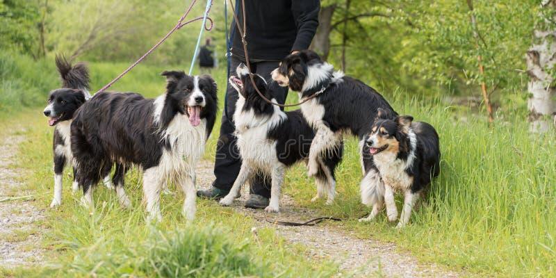 Weg mit vielen Hunden auf einer Leine in der Natur Border-Collien lizenzfreie stockbilder