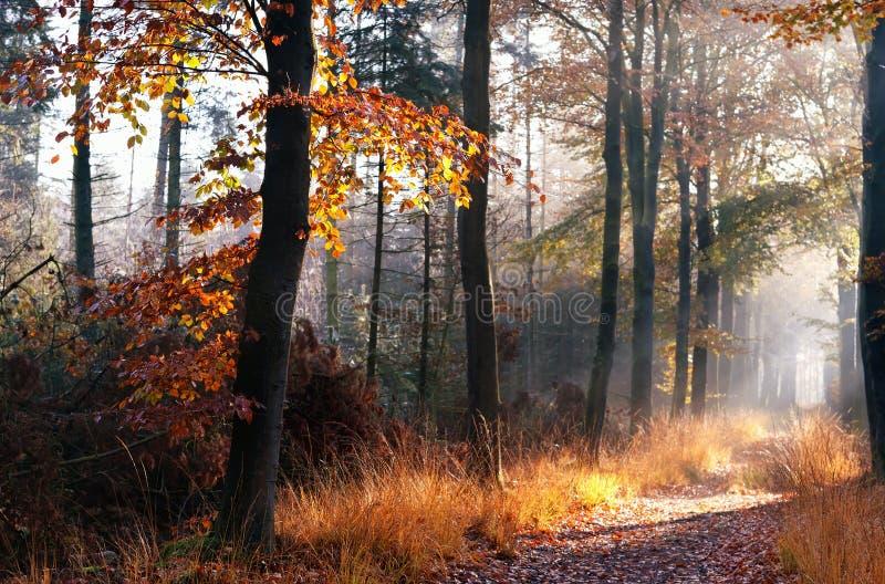 Weg in nevelig de herfstbos stock foto's