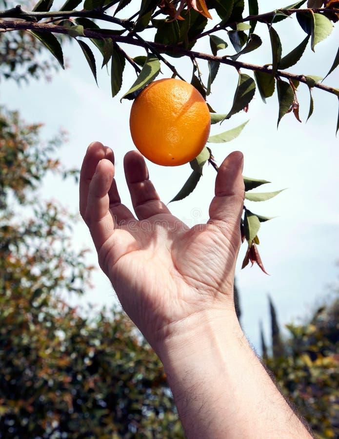 Weg plukkend een sinaasappel van een boom royalty-vrije stock afbeeldingen