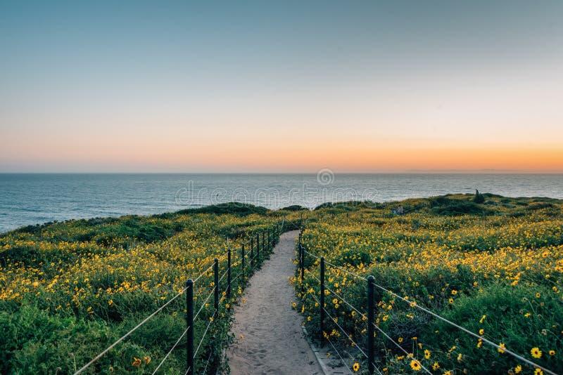 Weg und gelbe Blumen bei Sonnenuntergang, bei Dana Point Headlands Conservation Area, in Dana Point, County, Kalifornien stockbilder