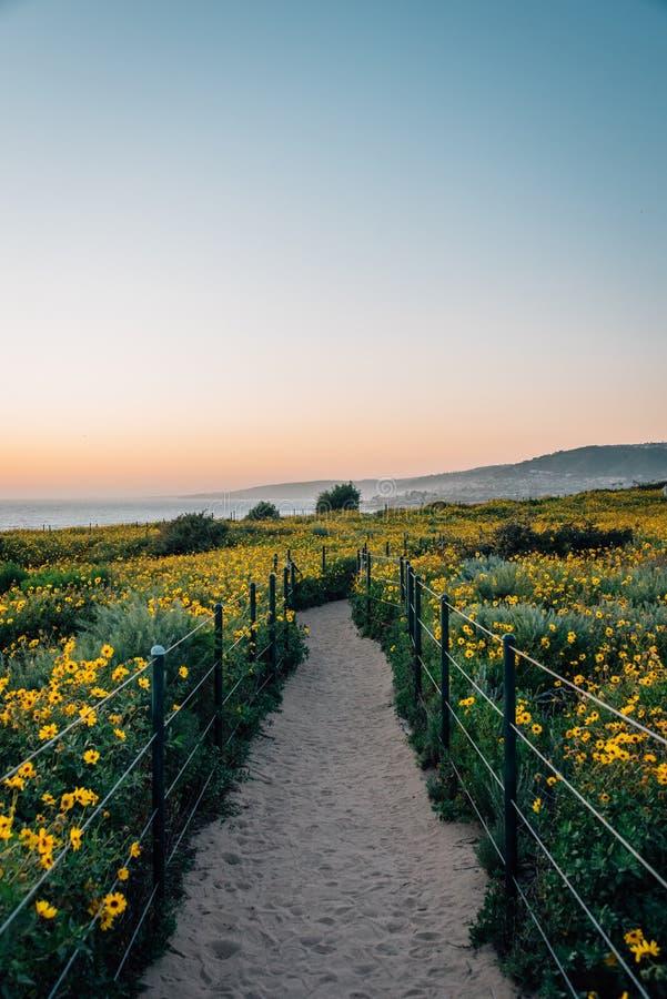 Weg und gelbe Blumen bei Sonnenuntergang, bei Dana Point Headlands Conservation Area, in Dana Point, County, Kalifornien stockfotos