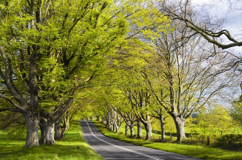 Weg van Beukbomen stock afbeeldingen