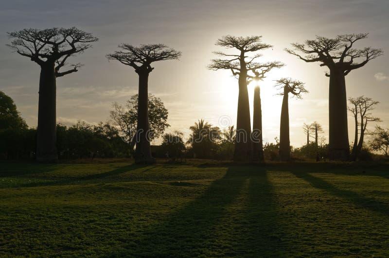 Weg van de Baobabs bij schemer - Morondava, Madagascar stock foto's