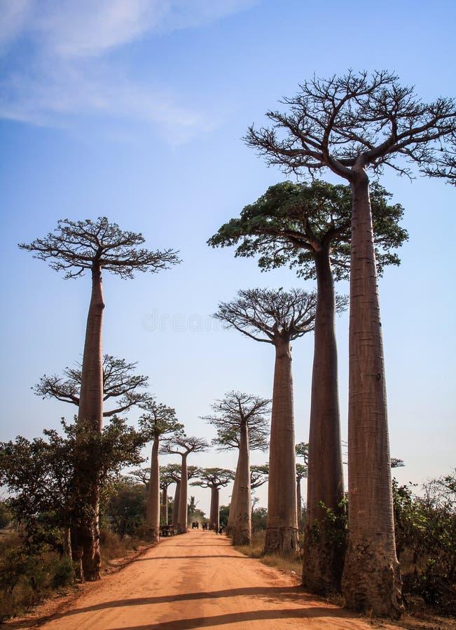 Weg van de Baobabs, Morondava, Menabe-Gebied, Madagascar stock foto's