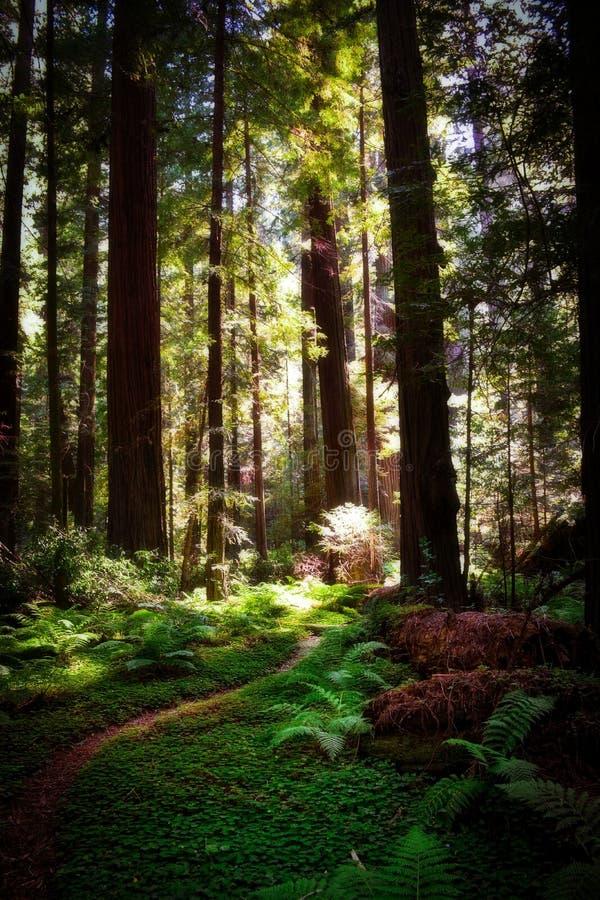 Weg van de Reuzencalifornische sequoia's stock afbeeldingen