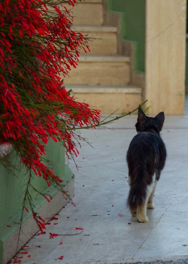 Wege der schwarzen Katze entlang dem Weg nahe roten Blumen lizenzfreies stockfoto