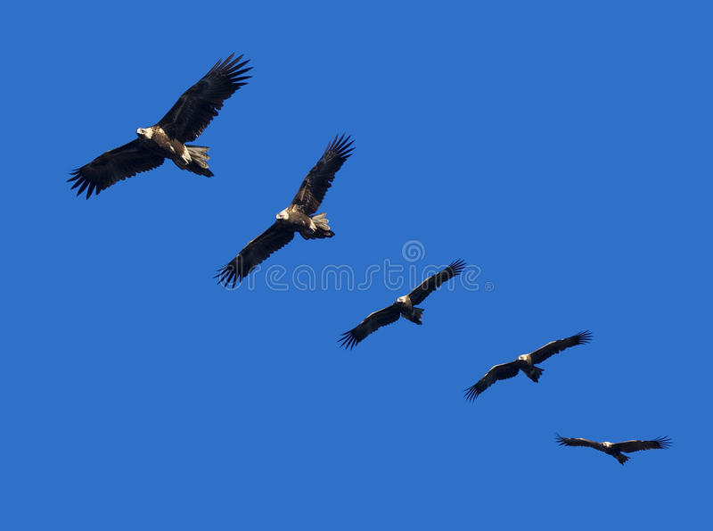 Wege-Tail Eagle Montage