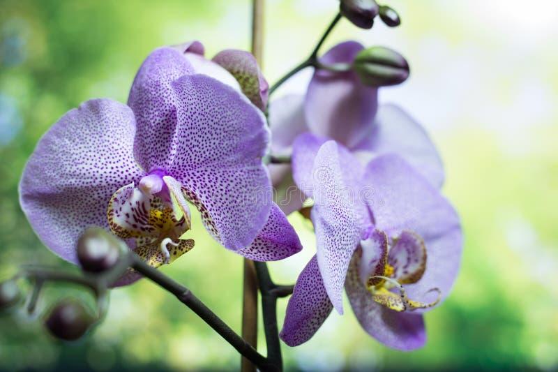 Weggeschoten orchideebloemen De mooie bloemen van de Orchidee purpere orchideeën, De mooie Purpere boom van de orchideebloem met  stock afbeelding