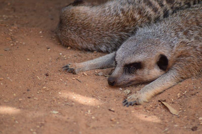 Weggewischtes Meerkat stockfoto