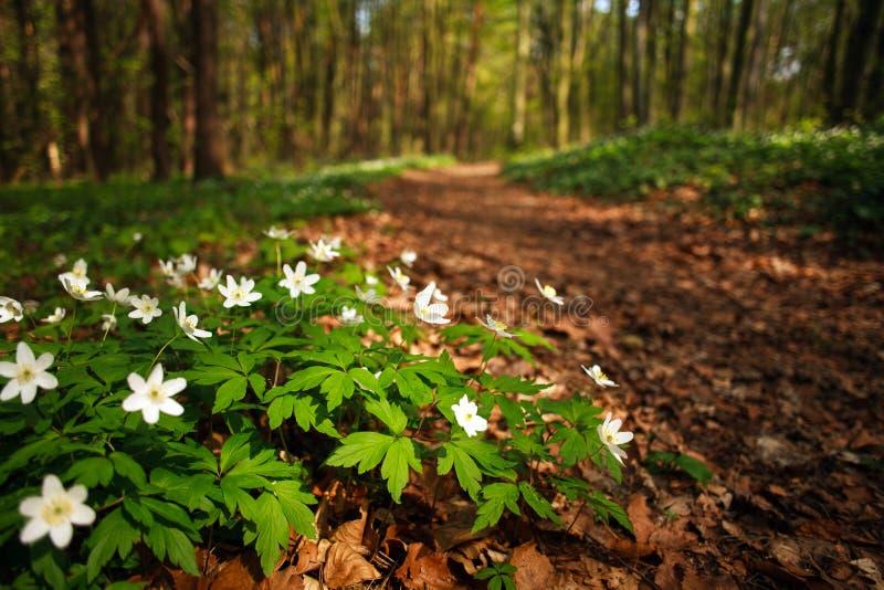 Wegmanier in tot bloei komend de lentebos, aardachtergrond stock afbeeldingen