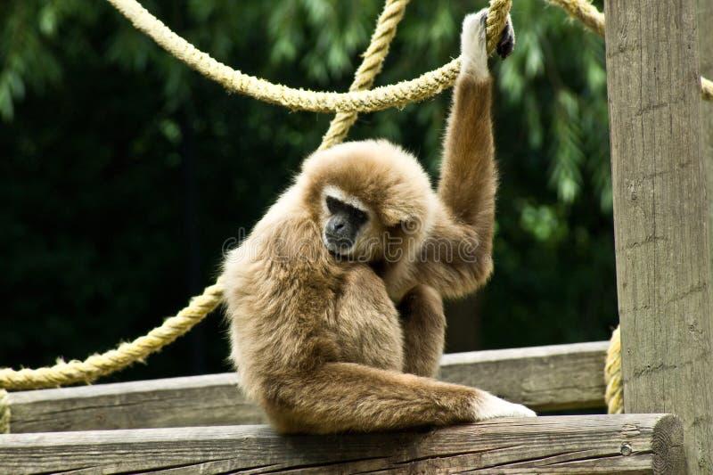 Weiß-übergebener Gibbon stockfotos