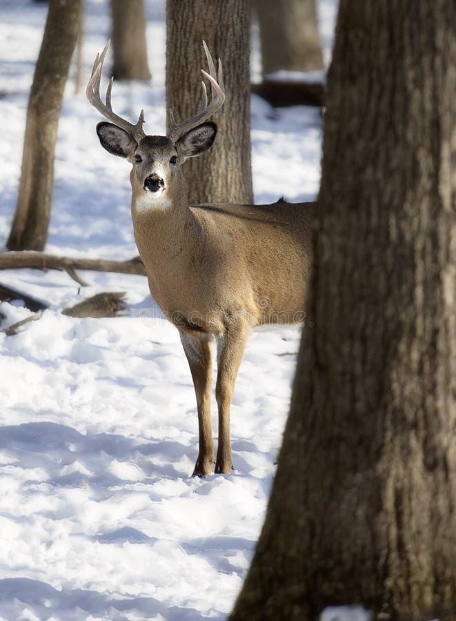 Weiß-angebundener Rotwilddollar im Winter stockfotografie