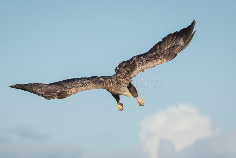 Weiß angebundenes Adlertauchen stockbild