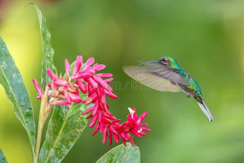 Weiß-angebundenes sabrewing nahe bei rosa Blume, Vogel im Flug schweben, caribean tropischer Wald, Trinidad und Tobago stockfoto