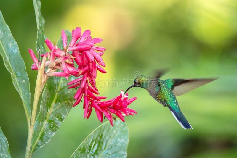 Weiß-angebundenes sabrewing nahe bei rosa Blume, Vogel im Flug schweben, caribean tropischer Wald, Trinidad und Tobago lizenzfreies stockfoto