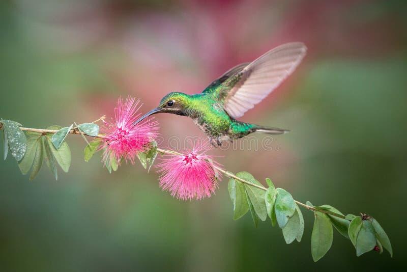 Weiß-angebundenes sabrewing nahe bei rosa Blume, Vogel im Flug schweben, caribean tropischer Wald, Trinidad und Tobago, natürlich lizenzfreie stockbilder