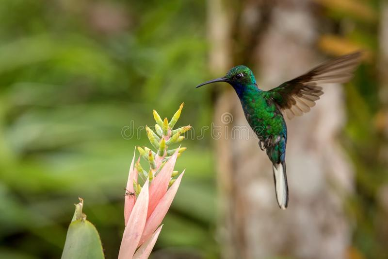 Weiß-angebundenes sabrewing nahe bei rosa Blume, Vogel im Flug schweben, caribean tropischer Wald, Trinidad und Tobago, natürlich stockfotografie
