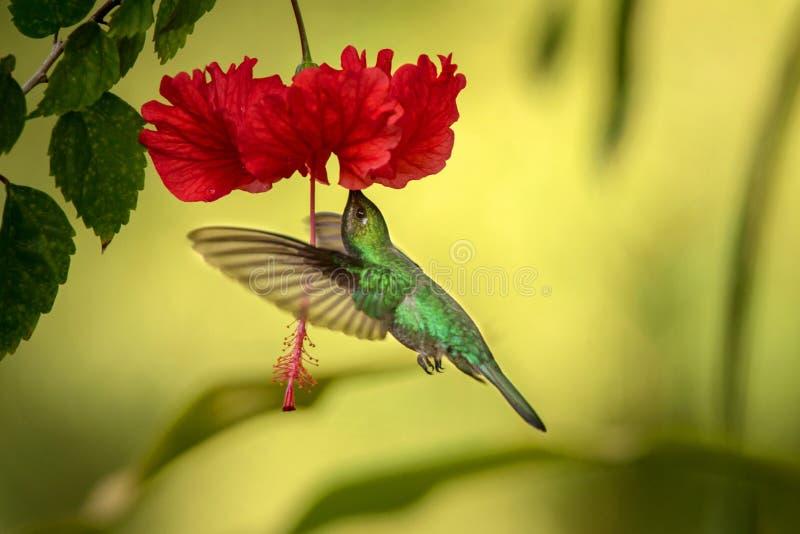 Weiß-angebundenes sabrewing nahe bei roter ibiscus Blume, Vogel im Flug schweben, caribean tropischer Wald, Trinidad und Tobago lizenzfreies stockbild