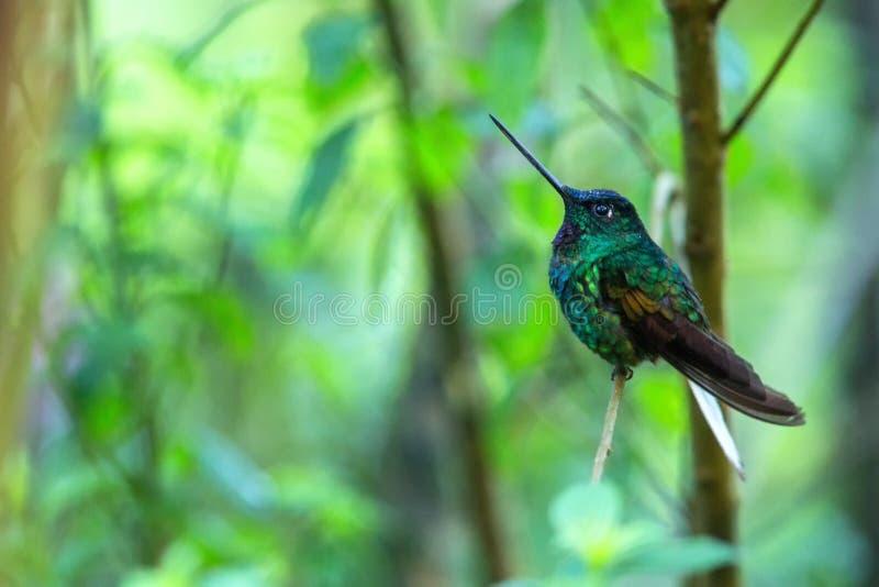 Weiß-angebundenes starfrontlet, das auf Niederlassung, Kolibri vom tropischen Wald, Kolumbien, Vogel hockt, kleiner Vogel stillst lizenzfreie stockbilder
