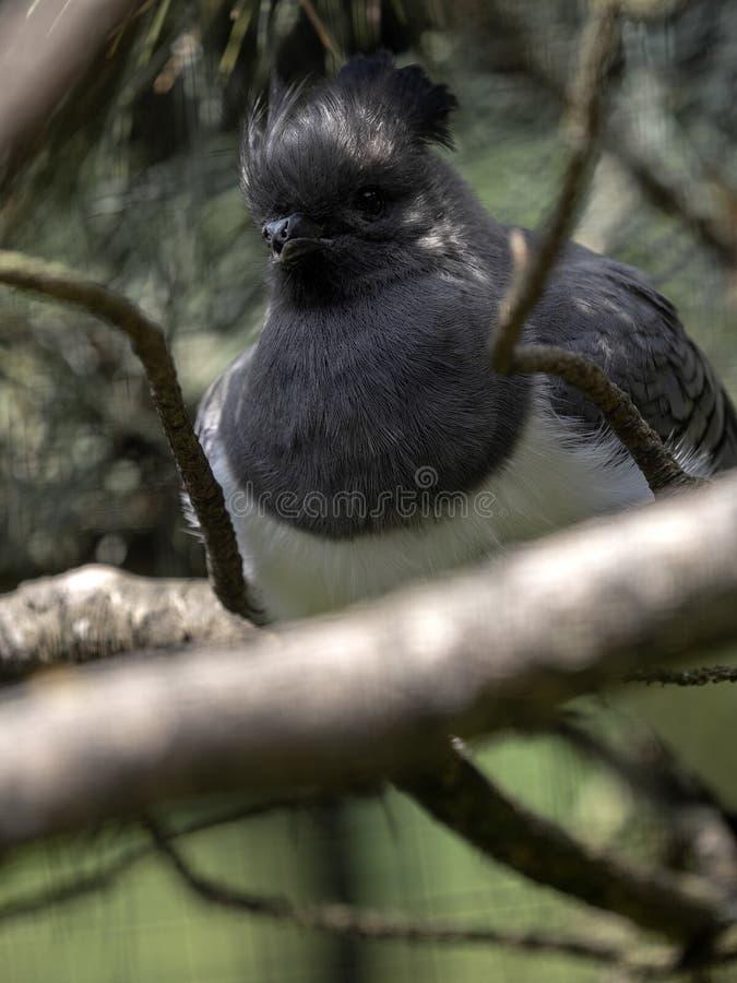 Weiß-aufgeblähter Gehen-wegvogel, Corythaixoides-leucogaster, versteckend in den Niederlassungen lizenzfreie stockbilder