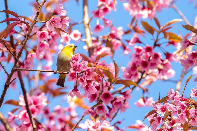 Weiß-Augenvogel auf Kirschblüte und Kirschblüte lizenzfreie stockfotos