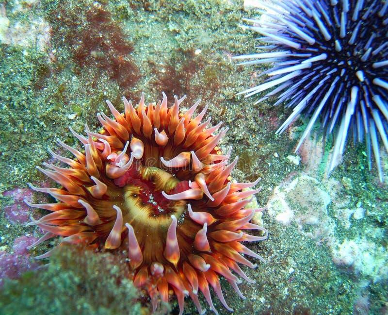 Weiß-beschmutzte Rose Anemone und purpurroter Seeigel stockfoto
